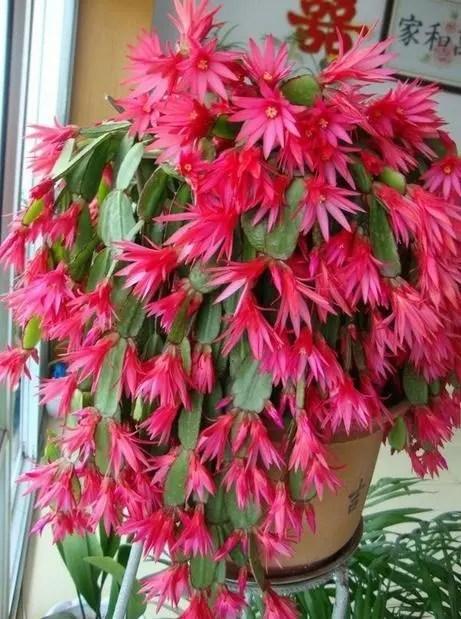 冷不死,冬天就養這幾種花,冬天也能看到新鮮的綠和妖艷的紅