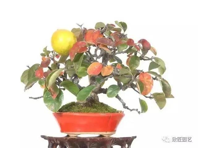 精緻小巧的掛果盆景欣賞!