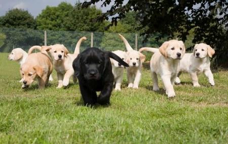 Labrador Golden retriever cross puppies litter on grass running.