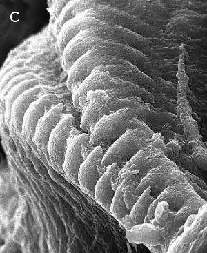 格劳科斯   有相当发达的钳口锯齿.细齿可以用在咀嚼.当闭合时像拉