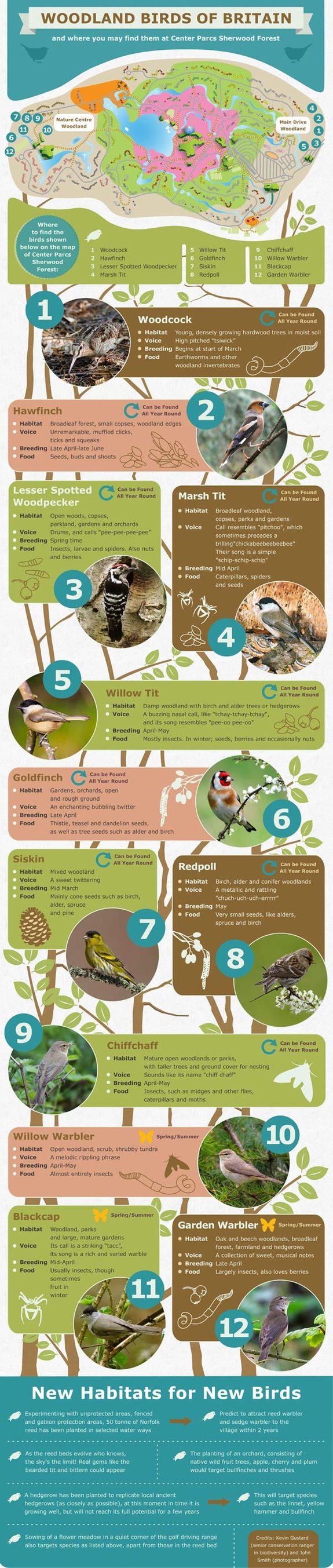 Woodland Birds of Britain Infographic