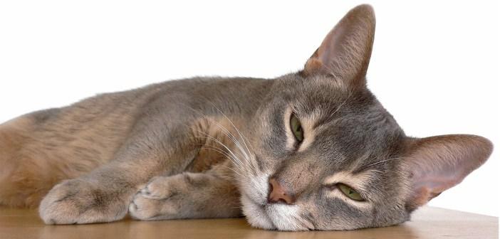 Habešská kočka