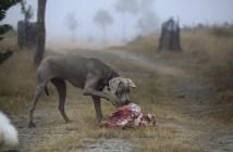 Psi jsou masožravci