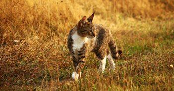 Kočka v poli