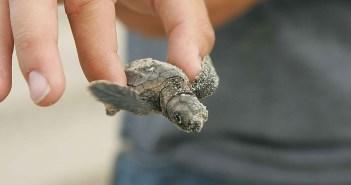 Čerstvě vylíhnutá želvička