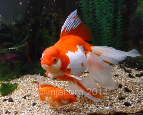 Medium Of How Long Do Goldfish Live