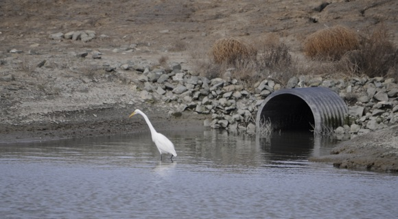 Great Egret hunting for breakfast at SV2 Pond in Menlo Park
