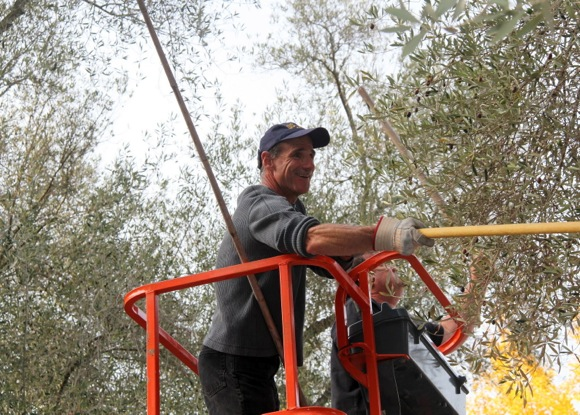 olive harvest at Sacred Heart Schools