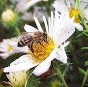 Honeybeeforager_web