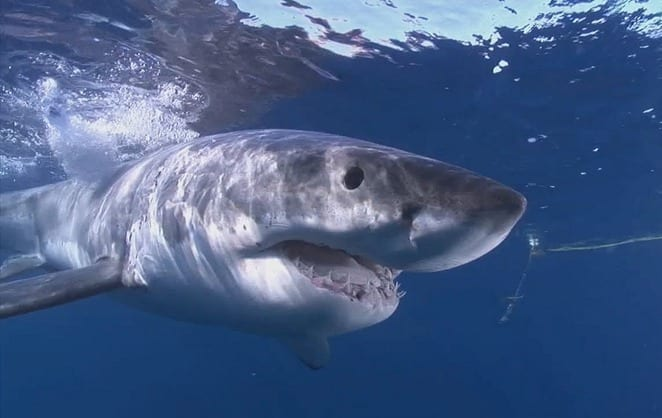 greatwhiteshark.jpg.662x0_q100_crop-scale
