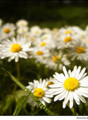 grass_and_daisies