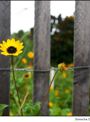 Yellow and Fenced In