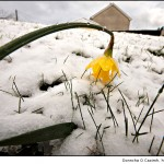 Daffodil, snow and water droplets