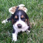 Our Beagle Sammie!