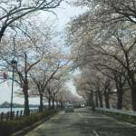 Cherry blossoms lining the street between Isanuma park and the lake