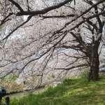 Beautiful cherry blossom trees beside the playground in Isanuma Park