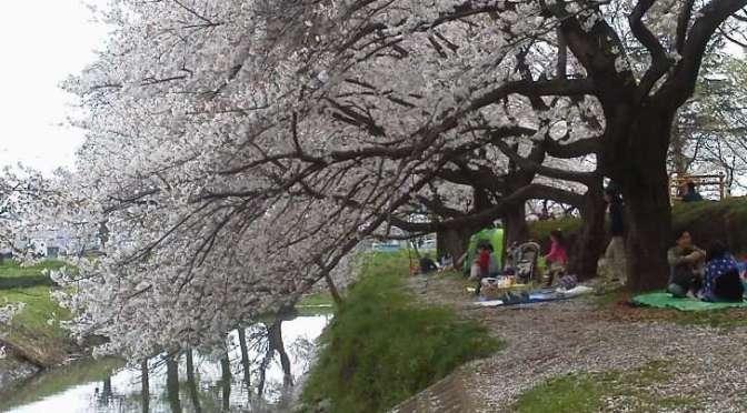 Cherry Blossoms at Isanuma Park   Kawagoe