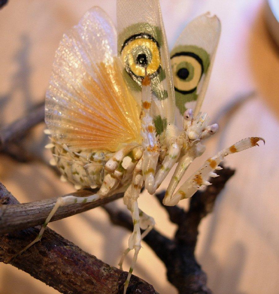 Pseudocreobotra Wahlbergii Spiny Flower Mantis
