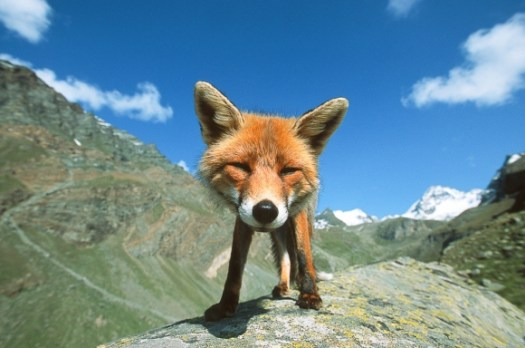 l-Happy-Mountain-Fox