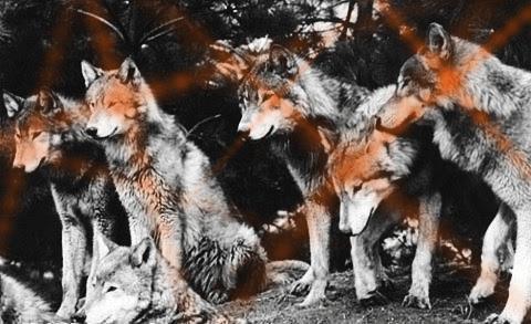 wolfattack