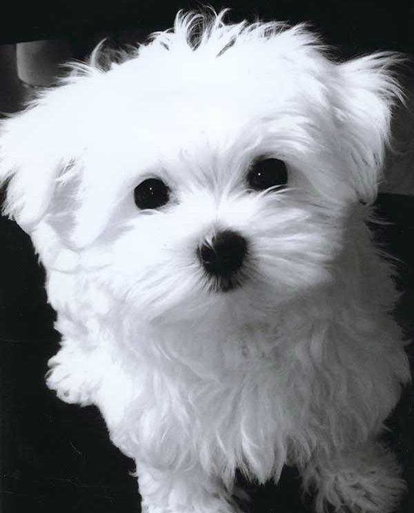 Maltese_puppy_cut