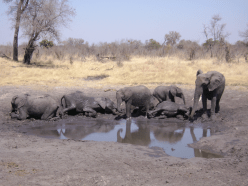 Elephants playing at a watering hole, Hwange National Park