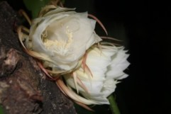 Two night blooming cereus