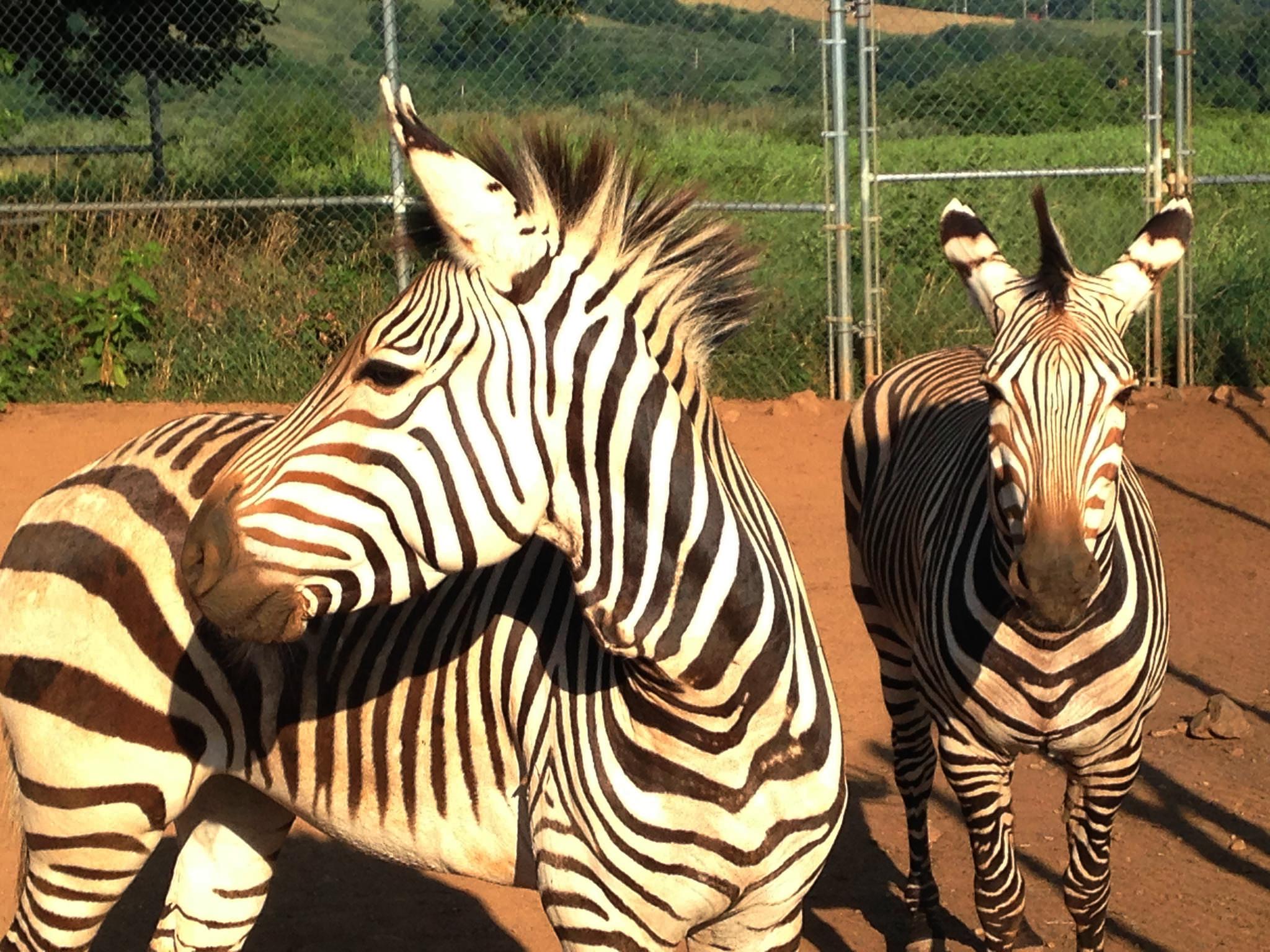 Robust Zebras Lions Rare Zebras Graze At Smithsonian Smithsonian Insider S Zebras Teeth S dpreview Pictures Of Zebras