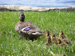quack-attack-1-1011888-m