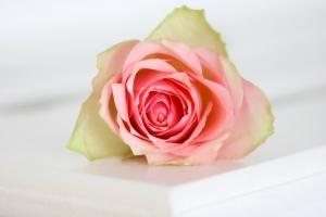 soft-rose-1444589-m