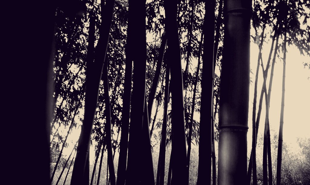 Bamboo Through Haze