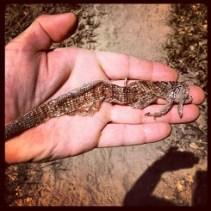 Lizard skin found on South Fork American River Trail