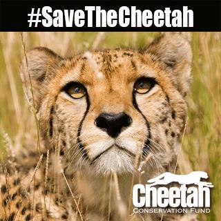 #savethecheetah, cheetah conservation fund