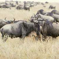 A Drive on the Wild Side - Life & Death on the Serengeti, Part 1