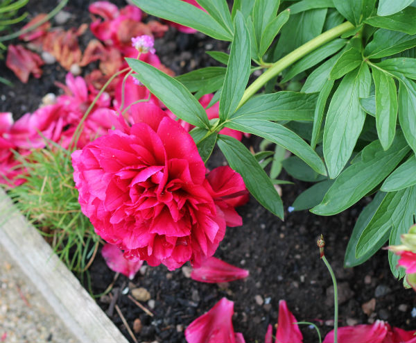 rose flower at kenilworth castle gardens