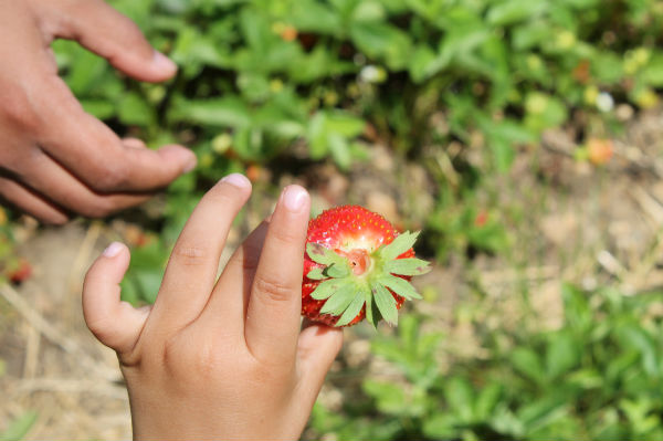 picked strawberry