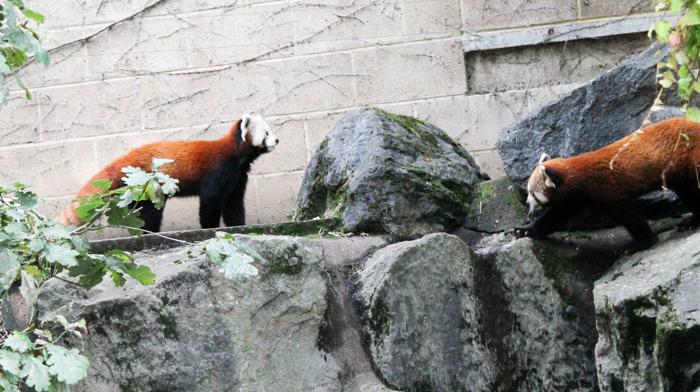 red pandas at bristol zoo gardens