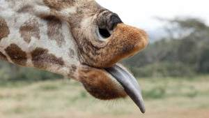Lynns-Giraffe-Tongue-The-Safari-Collection