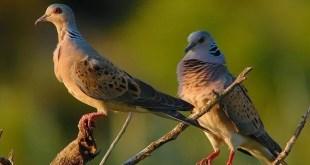 Al via il Progetto di raccolta ali di Tortora selvatica. Come collaborare per salvaguardare questa specie