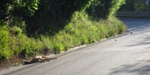 collisioni fauna selvatica