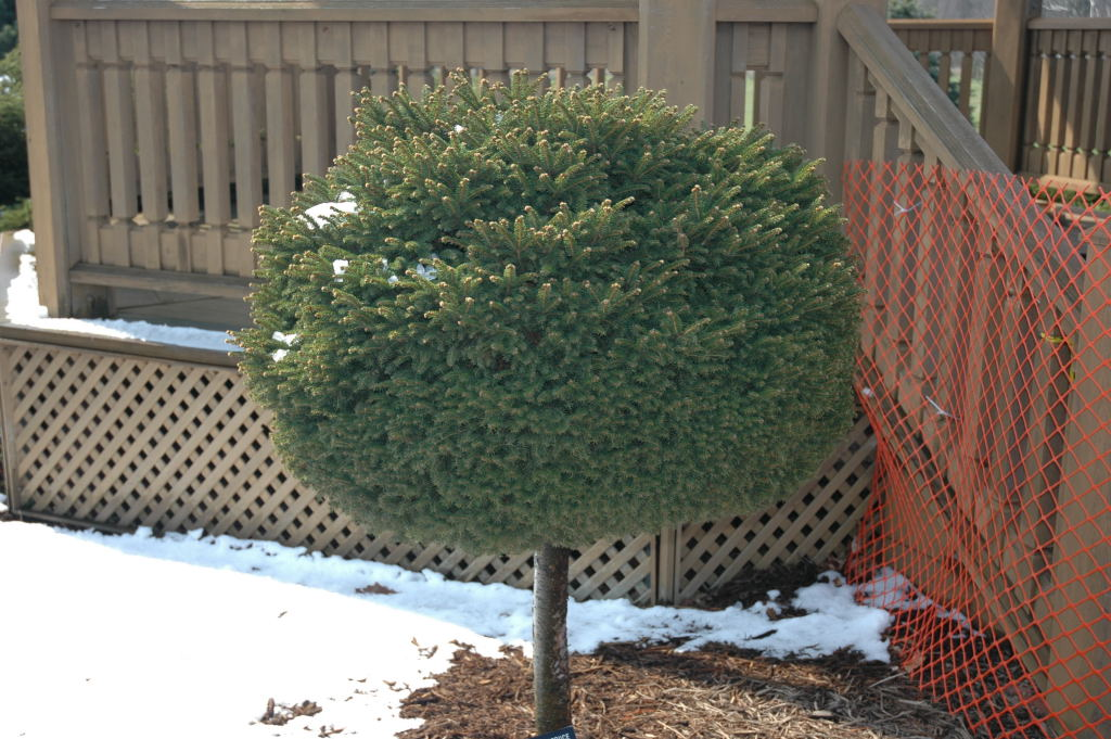 Jacobson Dwarf Conifers 4