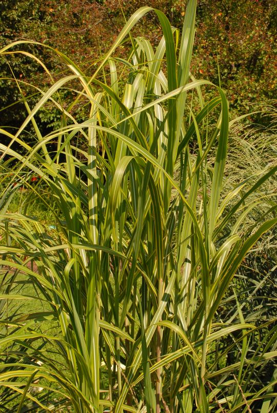 Miscanthus floridulus 'Gilded Tower'_0