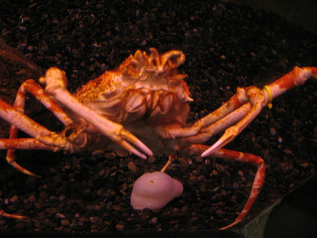 Giant Japanese Spider Crab Facts Fun You Need To Know