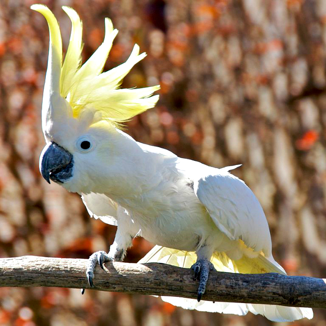 Umbrela Cockatoo Facts And Pictures 15