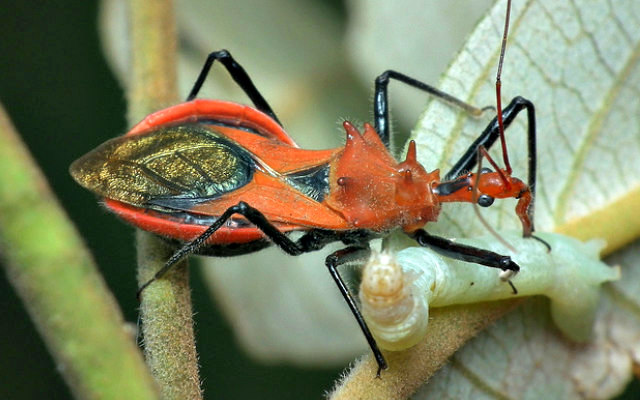 Large_Orange_Assassin_Bug_sucking_prey