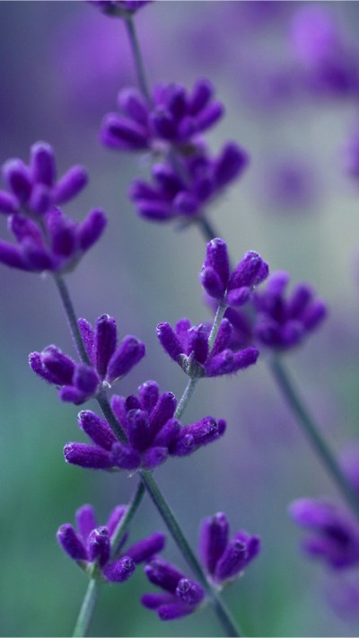 Lavender iPhone 5 Wallpaper | HD Wallpapers Source