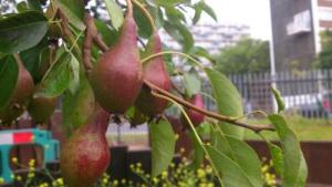Urban pears - Kilburn-400x225