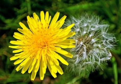 dandelion quora