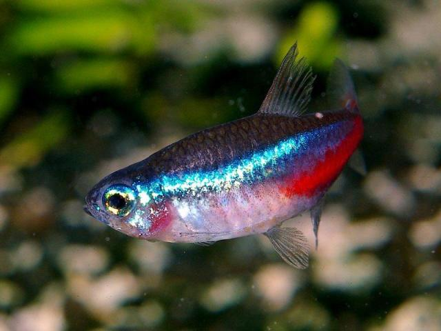 Ikan Bloodfin Tetra (aqua-fish.net)