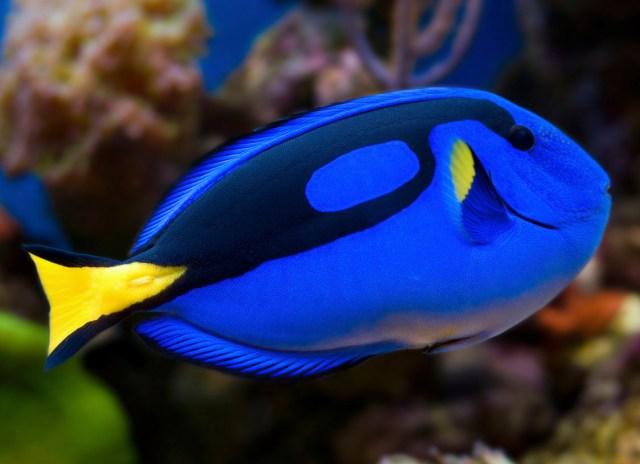 Ikan Blue Tang.jpg